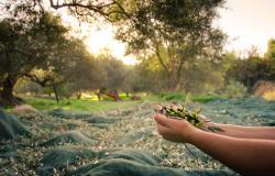 Appartamenti sul lago di Garda: è tempo di raccolta delle olive